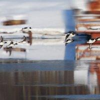 полет гоголей :: linnud