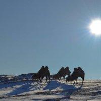 Зимние верблюды :: Елена Рекк