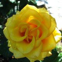 Жёлтая роза. :: Дмитрий Львович Чёткин