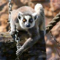 обезьяна :: Laryan1