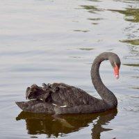 Лебедь чёрный :: GalLinna Ерошенко