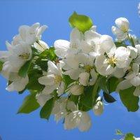 Яблони цветут :: Александр Попков