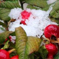 снег на шиповнике :: Наталья Золотых-Сибирская