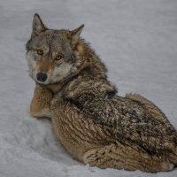Волчица... :: Татьяна Полянская