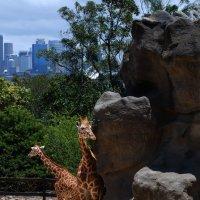 В Сиднеевском зоопарке. :: Лара Гамильтон