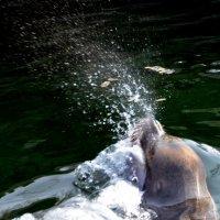 сексуальные игры морских львов 1 :: Сергей Короленко