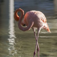 Розовый фламинго - дитя заката 1/3 :: Борис Гольдберг