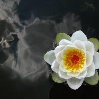 Черный пруд с цветущей лилией :: Валерий Кишилов