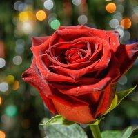 про розу... :: Дмитрий Брошко