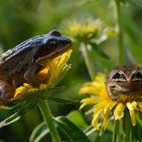 Цветочные  лягушата :: Геннадий С.