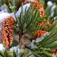 Шишки в снегу :: Виктор Шандыбин