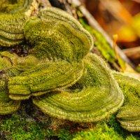,,Волосатые,,грибы? :: Борис Кононов