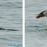 Баклан поймал рыбу и проглотил за 10 секунд (1/5) :: Асылбек Айманов