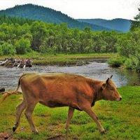 Пейзаж с бегущей коровой :: Сергей Чиняев