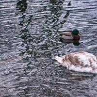 Лебедино-утиное озеро :: Татьяна Каримова
