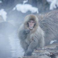 Снежные обезьнки :: Екатерина Валенчиц