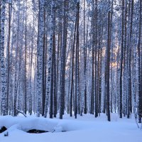 зимний лес :: djangalina *