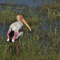 Аист Индийский клювач.Painted stork :: Юрий Воронов