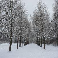 Прогулка в заснеженный лес. Дубовая аллея :: Елена Павлова (Смолова)