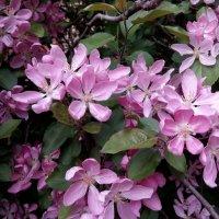 Цветы ябони. :: Анна