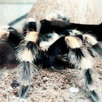 Когда твое домашнее живатное- паук. :: Виктория Черненко