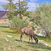 Верблюжёнок :: val-isaew2010 Валерий Исаев