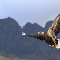 Белохвостый орлан :: spr42 ***