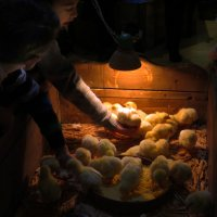 Мы - цыплятки, мы - братишки знают все нас ребятишки :: Наталья Джикидзе (Берёзина)