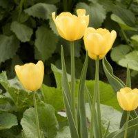 Тюльпаны как лампочки. :: Светлана Громова