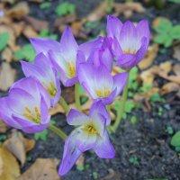 Одно из чудес осеннего сада - цветы колхикум (безвременник, осенник) :: Елена Павлова (Смолова)