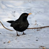 черный дрозд :: linnud