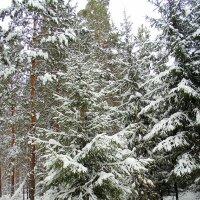 В лесу родилась ёлочка . :: Мила Бовкун