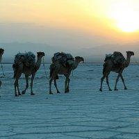 Караван на закате в пустыне Данакиль :: Евгений Печенин