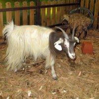 Идет коза рогатая... :: Наталья (D.Nat@lia)
