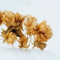 Хмель на снегу. :: Olga Kramoreva