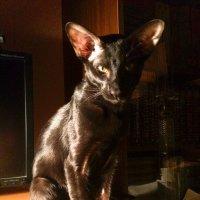 Ориентальный кот :: Наталья
