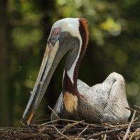 Brown Pelican :: Naum