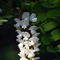 Белая гроздь :: Nina Streapan