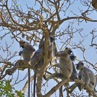 Семейство обезьян. Цейлон. Парк Яла. A family of monkeys. Ceylon. Yala Park. :: Юрий Воронов