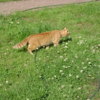 Монастырский кот на охоте :: Марина Домосилецкая