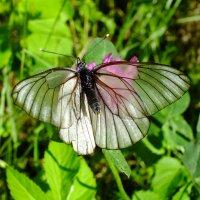 Прозрачная бабочка :: Андрей Кротов