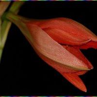 Аленький цветок... :: Сергей Гончаров