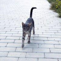 Крымский кот :: Roman_Pro