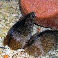 Полевая мышь :: Сергей Владимирович Егоров