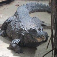 крокодил :: elena nebo