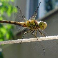 Dragonfly :: Евгения Ламтюгова