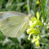 Бабочка :: Евгения Ламтюгова