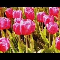 Тюльпаны :: Оля5 Соболева
