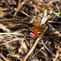 Бабочка :: Наталья Еловская