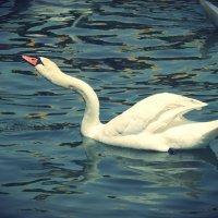 Белый лебедь :: Екатерина Аматова